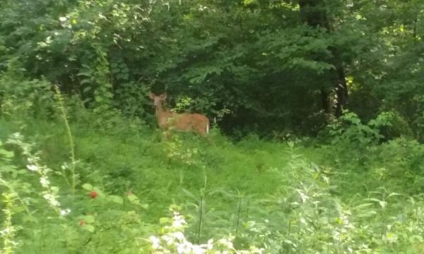 Deer looking for some dinner