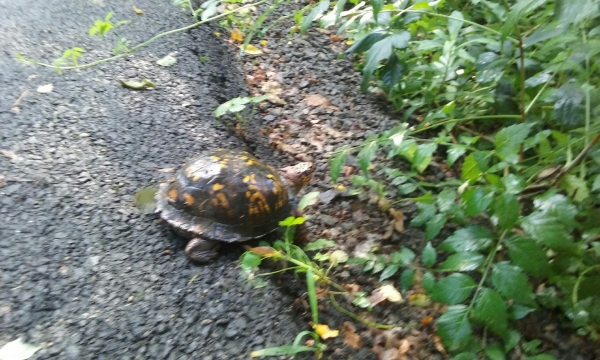 Why did the turtle cross the path?  I have no idea!