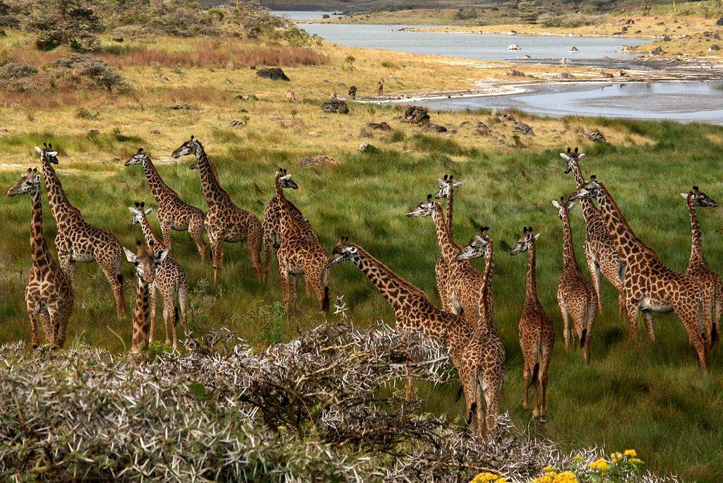 A tower of giraffes in Tanzania