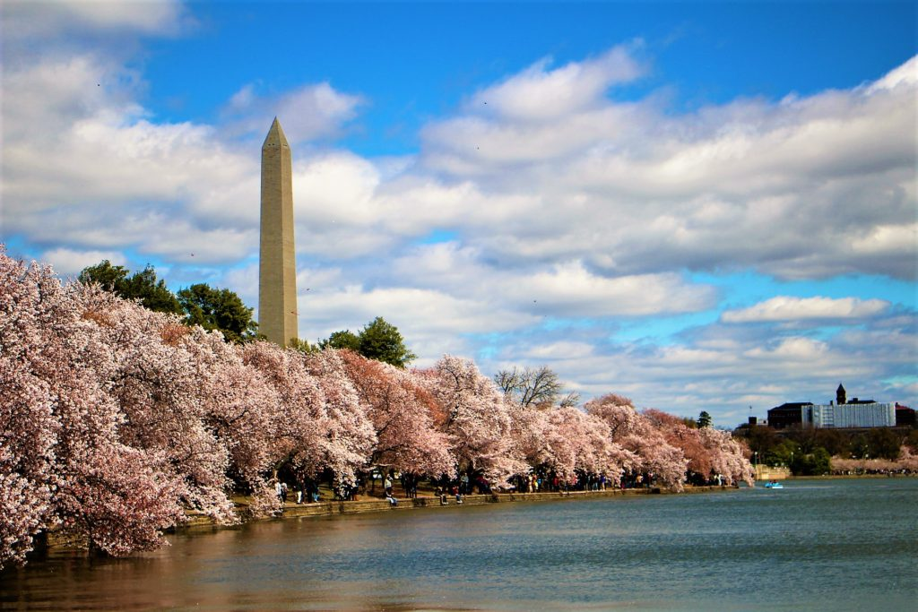 The cherry blossoms by the Tidal Basin with the Washington Monument in the distance.