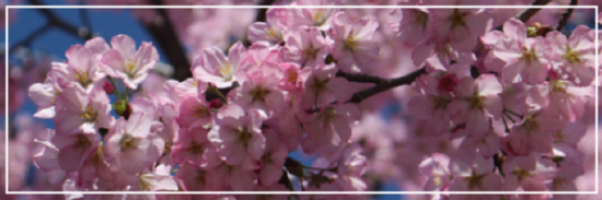 The National Cherry Blossom Festival 2018: A Quick Guide